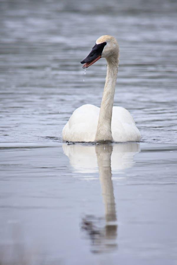 Cisne del trompetista imagenes de archivo
