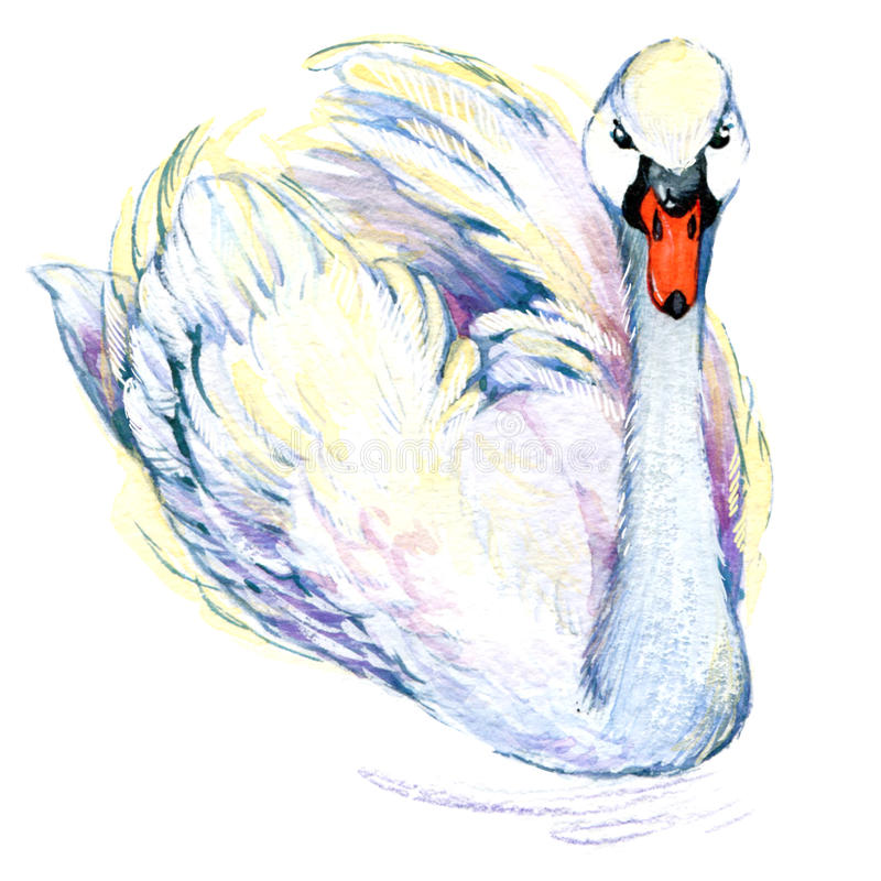 Cisne Desenho da aquarela da cisne ilustração do vetor