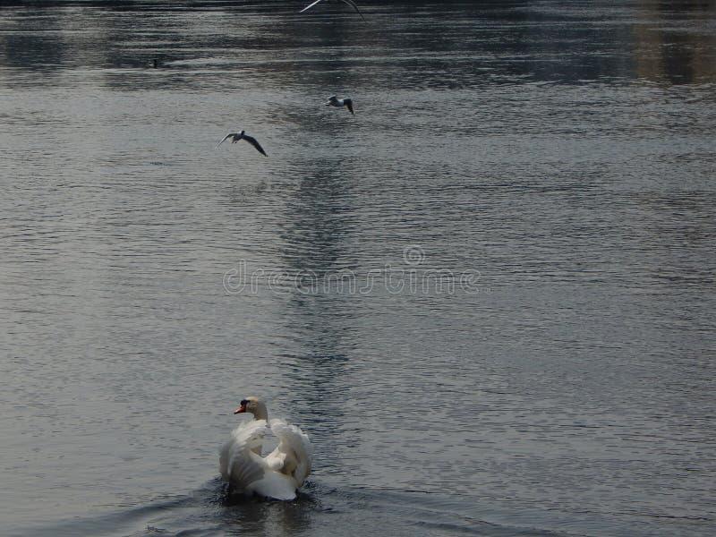 Cisne di amore in Svizzera fotografia stock libera da diritti