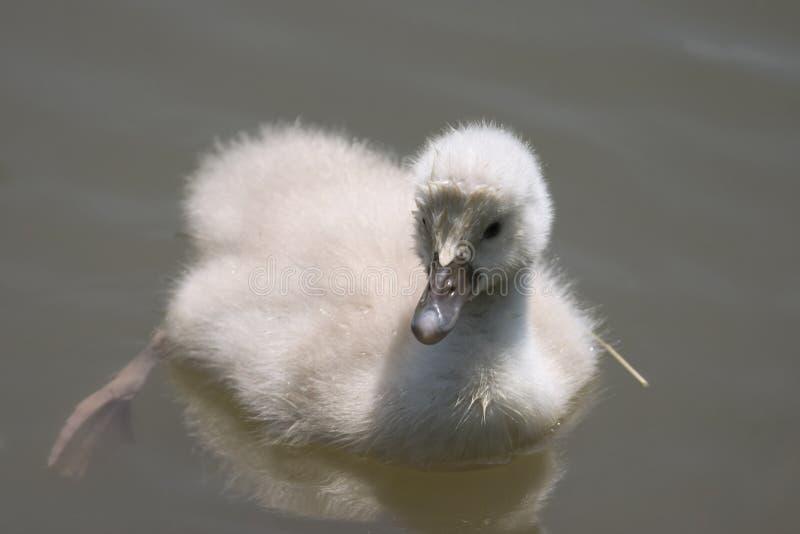 Cisne do bebê imagem de stock