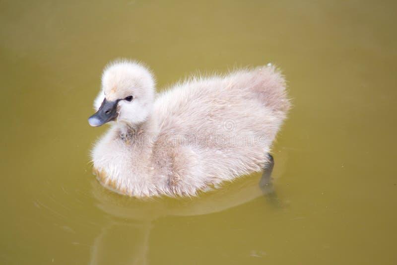 Cisne do bebê no lago imagem de stock royalty free