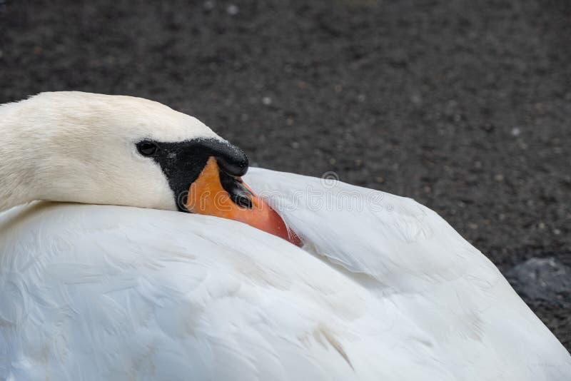 Cisne do olor do Cygnus no fim acima Disparado no parque de Leazes fotos de stock royalty free