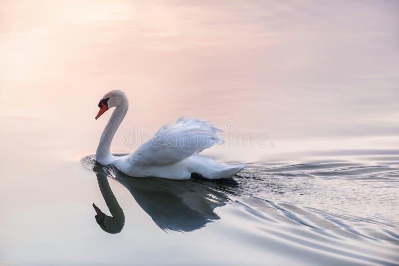 Cisne do por do sol imagens de stock