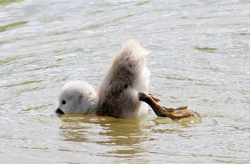 Cisne do signet do bebê que tenta duck o mergulho imagens de stock royalty free