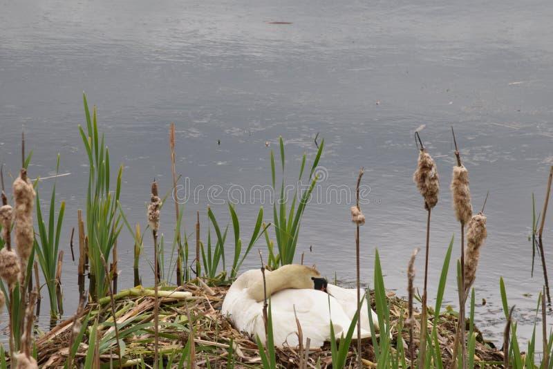 Cisne do sono que senta-se em ovos de espera do ninho para chocar imagem de stock royalty free