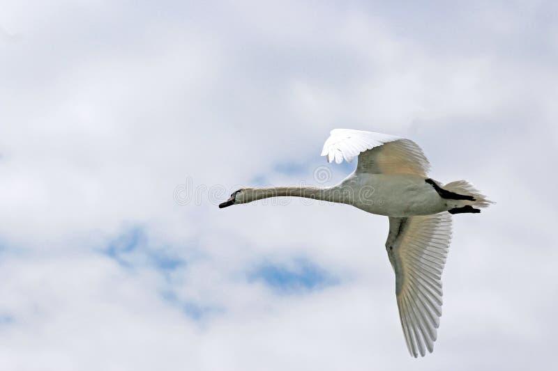 Cisne do voo, céu nebuloso foto de stock