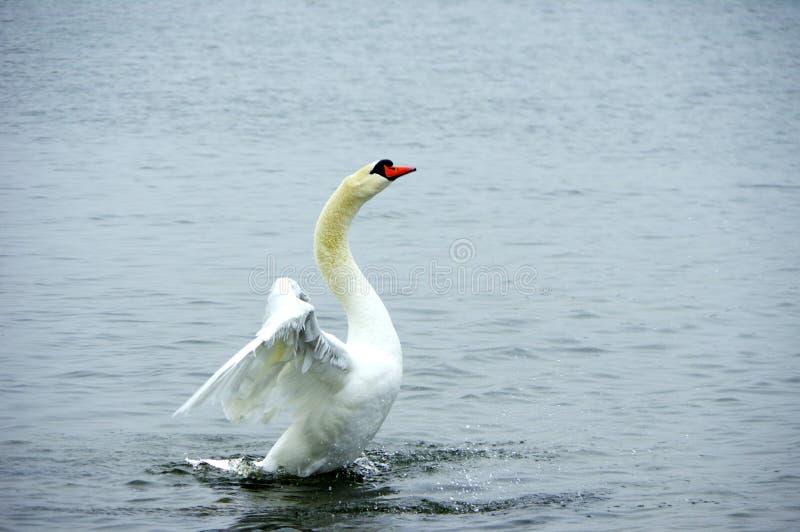 Cisne durante despegue imagen de archivo