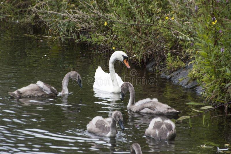 Cisne e bebês da mãe imagens de stock royalty free