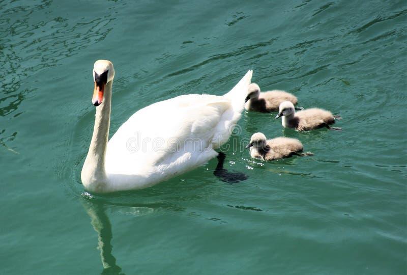Cisne e ciganos na água foto de stock royalty free