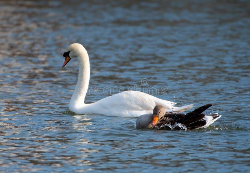 Cisne e ganso foto de stock