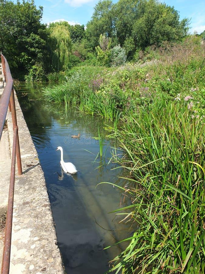 Cisne em Avon foto de stock royalty free
