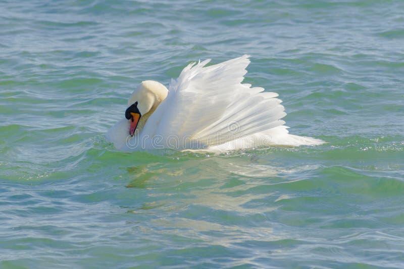 Cisne em um dia brilhante no mar foto de stock
