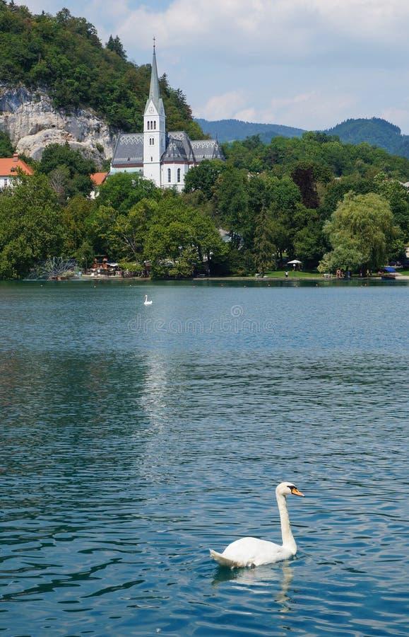 Cisne em um lago imagens de stock royalty free