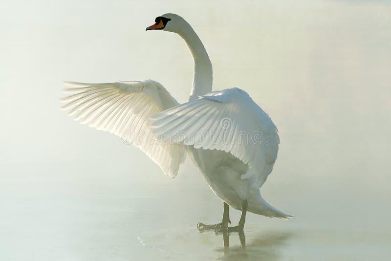 Cisne em um lago congelado enevoado no nascer do sol