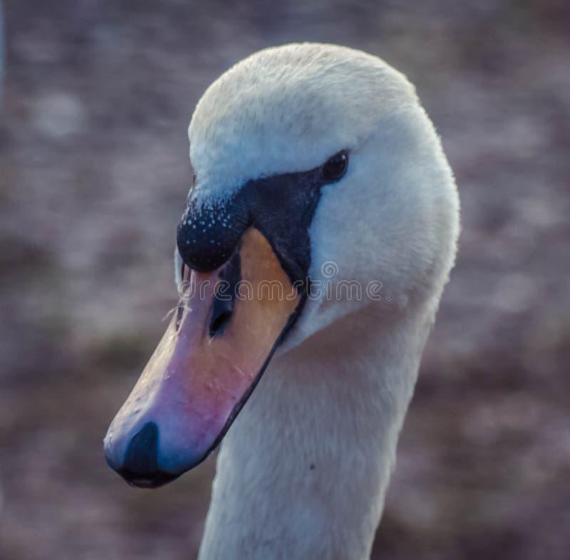 Cisne em um lugar óbvio imagem de stock royalty free