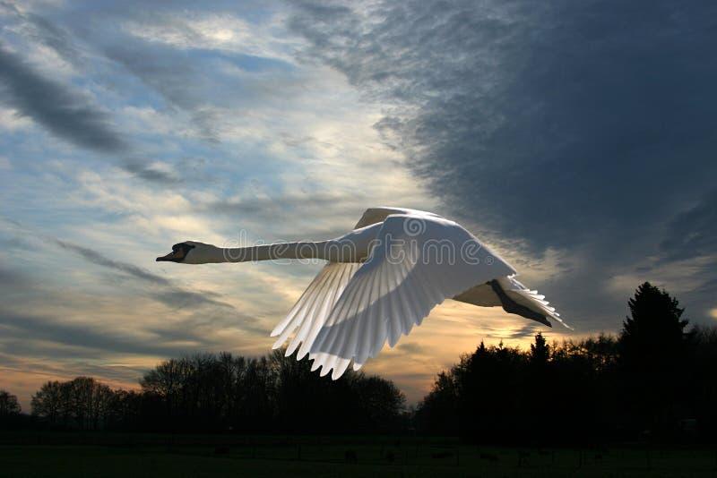 Cisne em um por do sol invernal fotos de stock royalty free