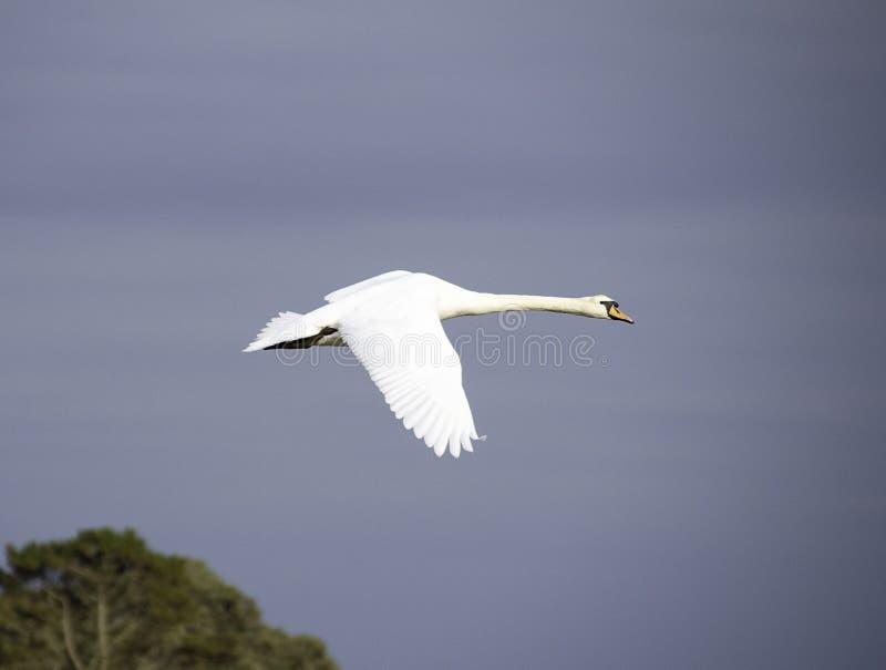 Cisne em voo contra um fundo escuro do céu fotografia de stock royalty free