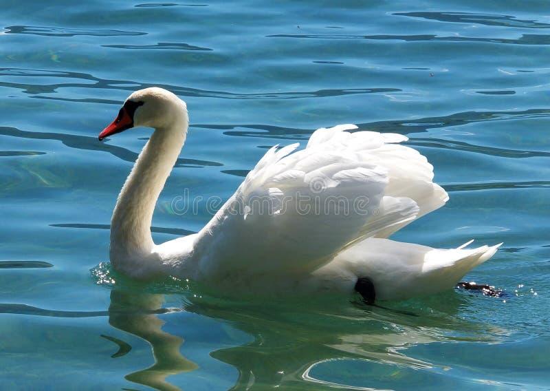 Cisne en agua cristalina fotografía de archivo