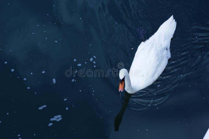 Cisne en Alemania imágenes de archivo libres de regalías
