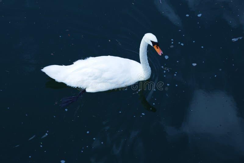 Cisne en Alemania 6 fotografía de archivo