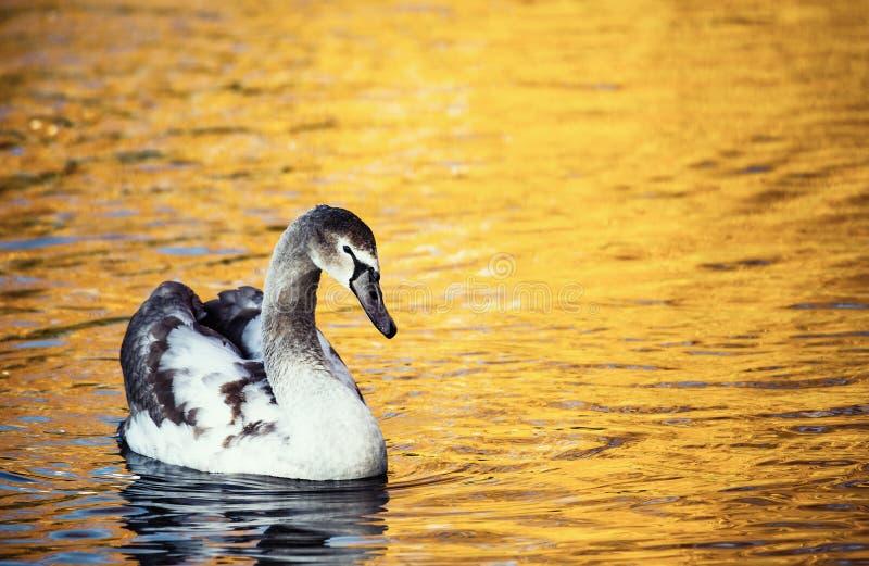 Cisne en amarillo de la naturaleza del otoño del agua del lago del oro imagen de archivo libre de regalías