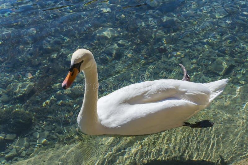 Cisne en Annecy foto de archivo