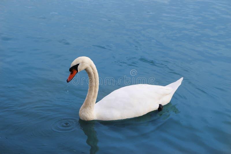 Cisne en azul fotos de archivo