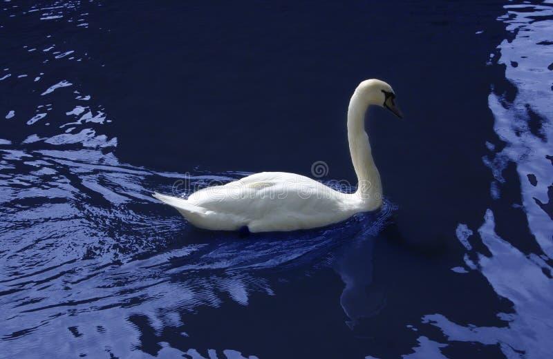 Cisne en azul fotografía de archivo