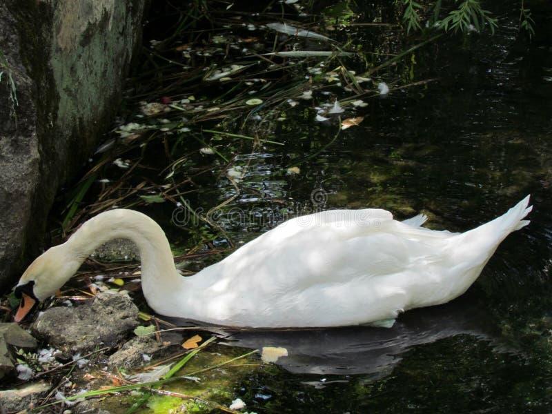 Cisne en el área natural protegida del palacio de Vorontsov imagen de archivo