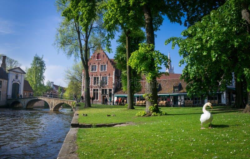 Cisne en el Beguinage, Brujas, Bélgica fotos de archivo libres de regalías