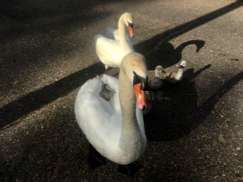cisne en el camino fotos de archivo libres de regalías
