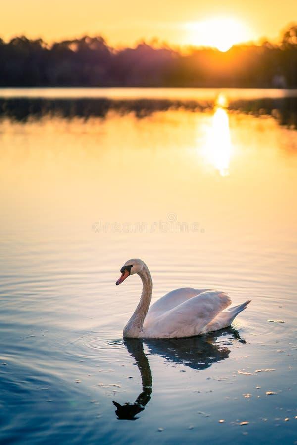 Cisne en el lago imagenes de archivo