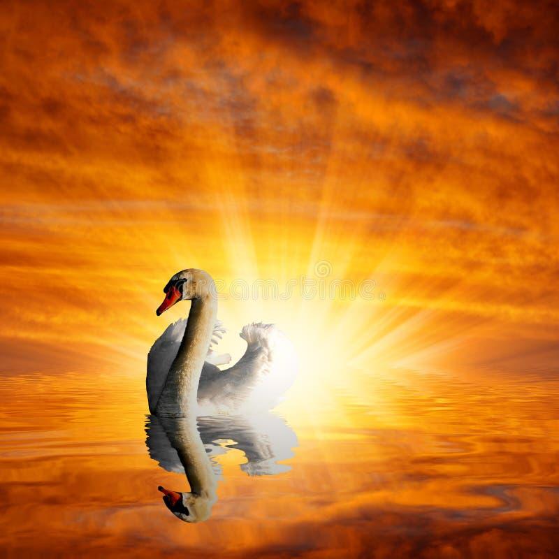 Cisne en el lago imagen de archivo