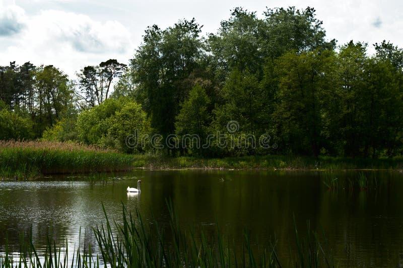 Cisne en el lago del bosque fotografía de archivo