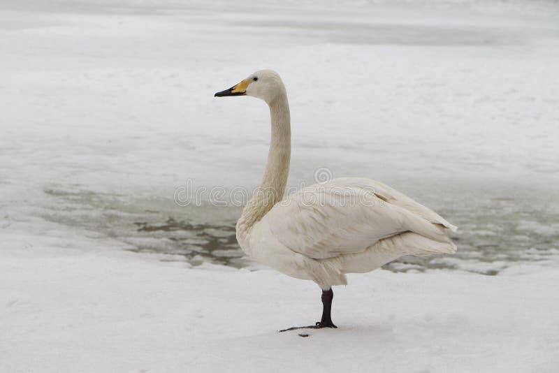 Cisne en el lago en la primavera fotos de archivo libres de regalías