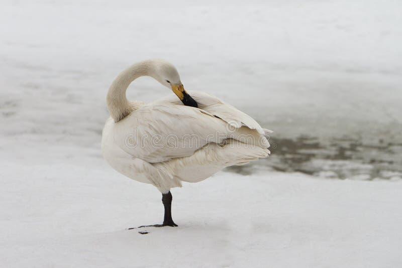Cisne en el lago en la primavera fotografía de archivo libre de regalías