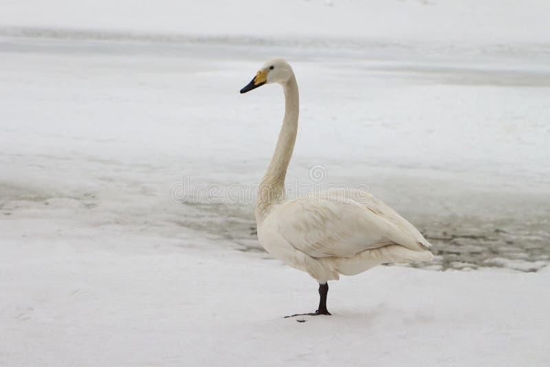 Cisne en el lago en la primavera fotos de archivo