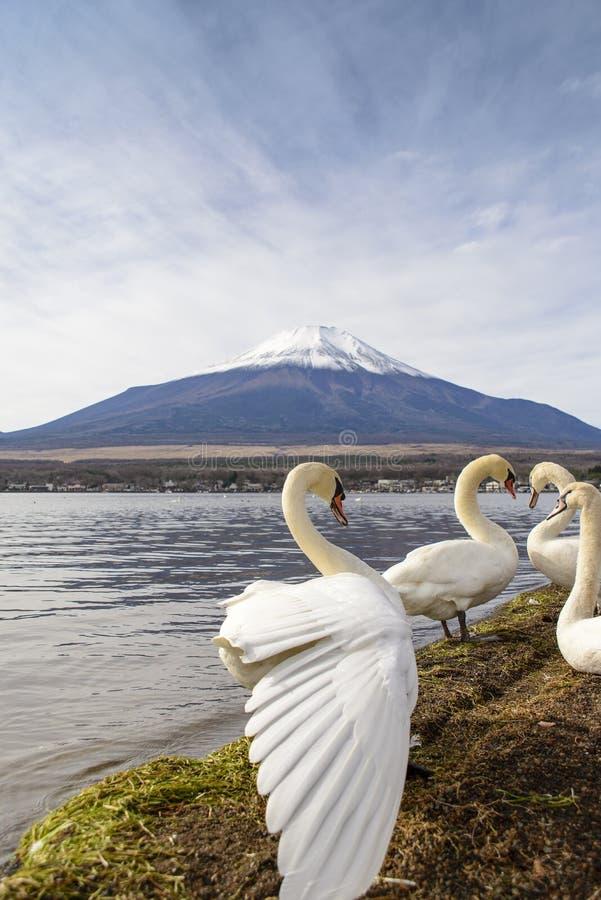 Cisne en el lago Yamanaka imágenes de archivo libres de regalías