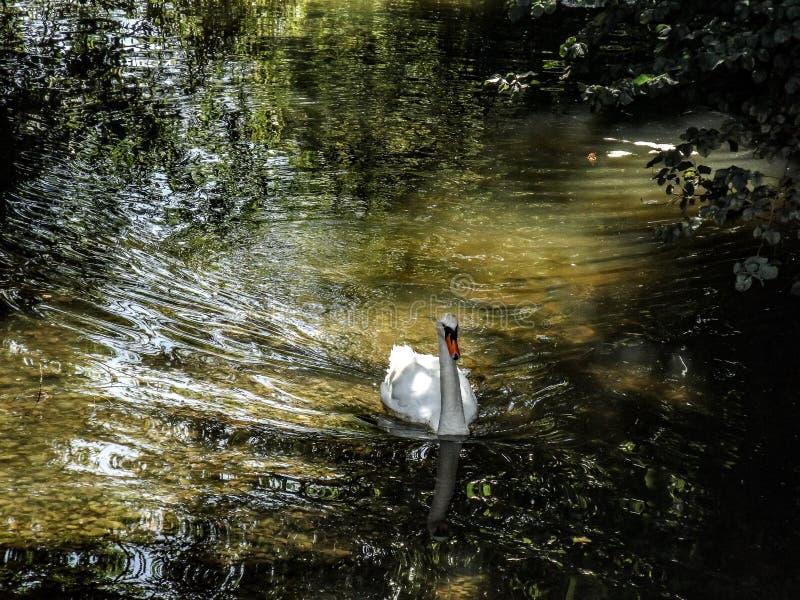 Cisne en el río foto de archivo