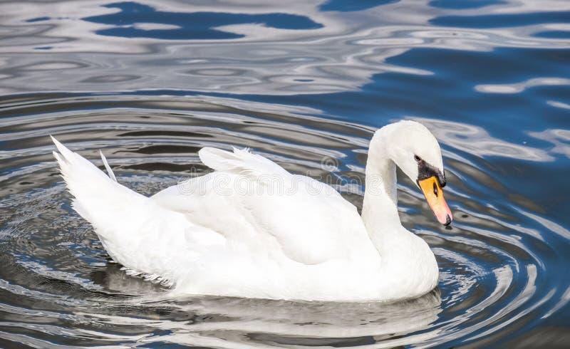 Cisne en el río de Moldava, Praga fotografía de archivo