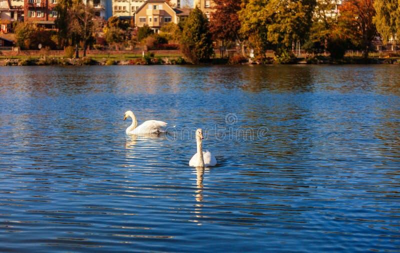 Cisne en el río principal fotografía de archivo libre de regalías