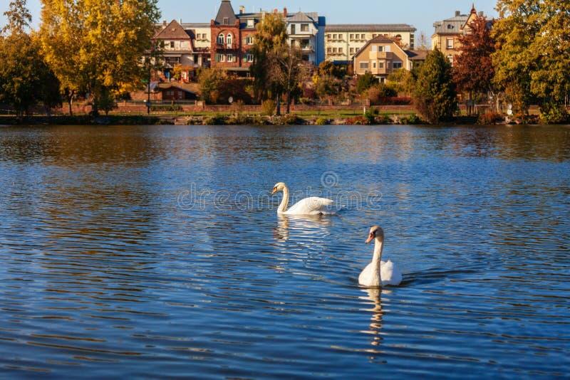Cisne en el río principal imagen de archivo libre de regalías