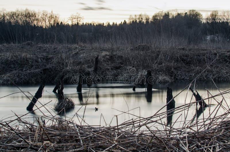 Cisne en el verano del lago imagen de archivo