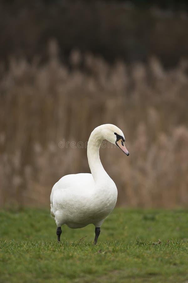 Cisne en la hierba imágenes de archivo libres de regalías