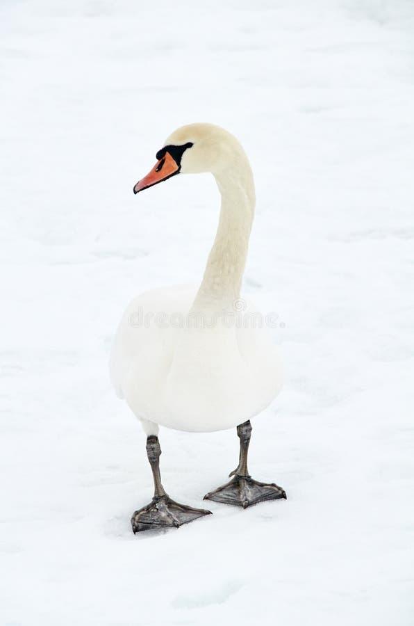 cisne en nieve imagen de archivo