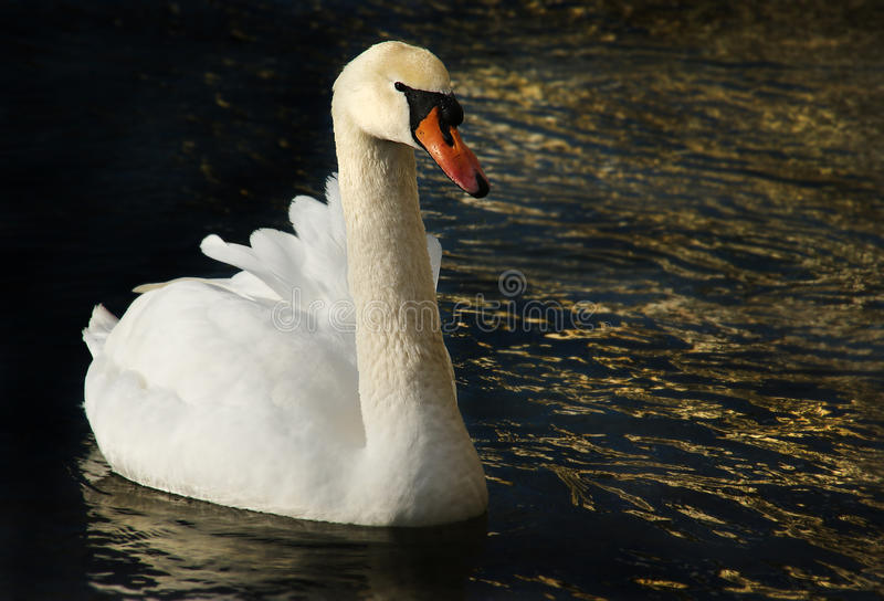 Cisne en oro foto de archivo libre de regalías