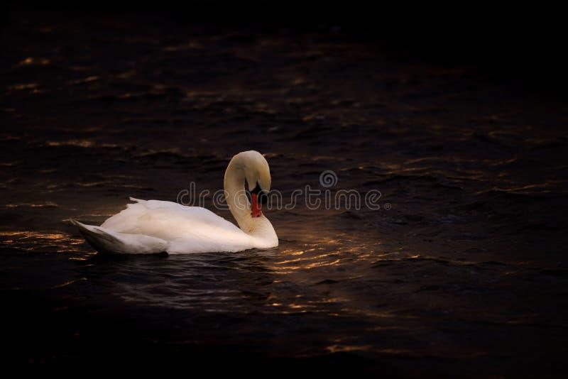Cisne en oscuridad y agua del oro fotos de archivo libres de regalías