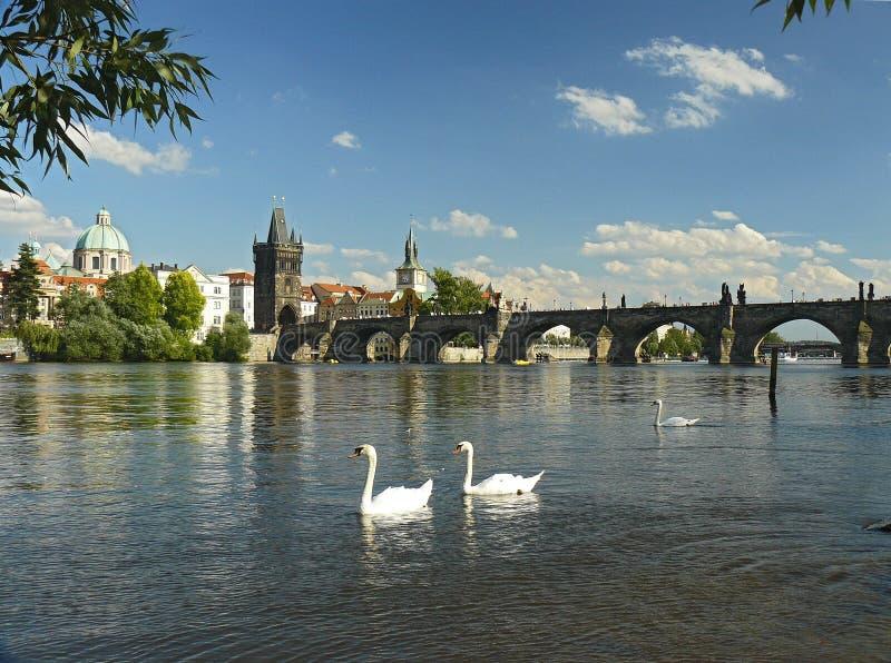Cisne en Praga foto de archivo