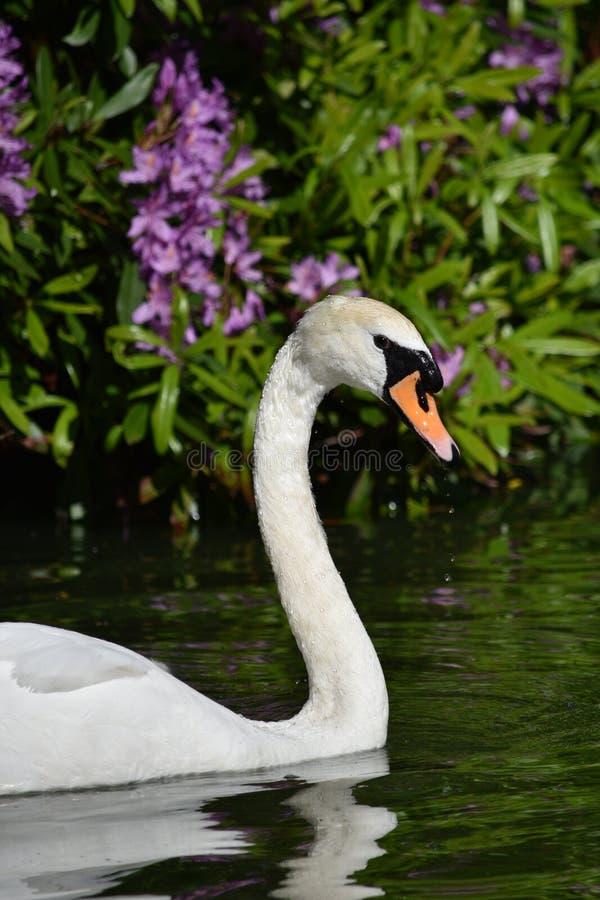 Cisne en un lago imagen de archivo