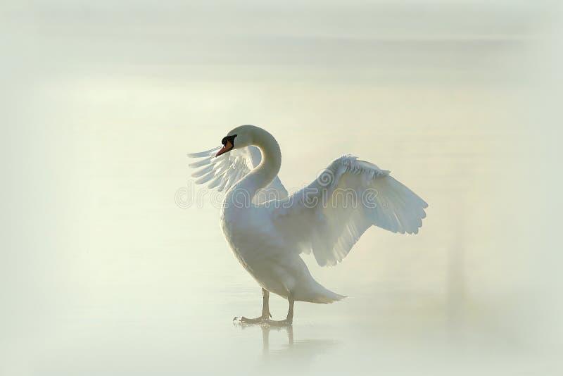 Cisne en un lago congelado brumoso en la salida del sol fotografía de archivo